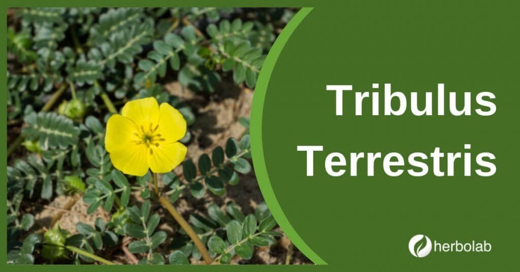 tribulus-terrestris-supplement