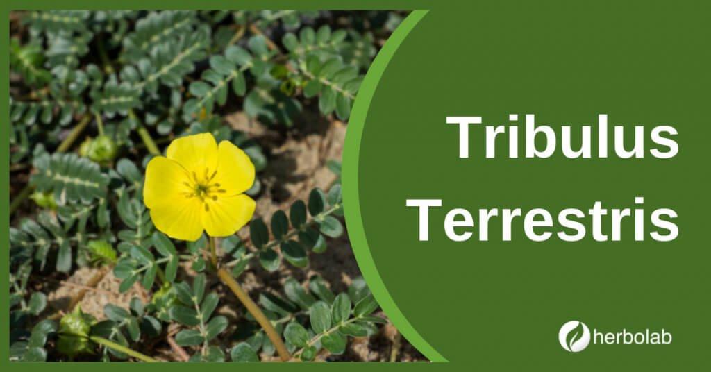 tribulus-terrestris-supplement